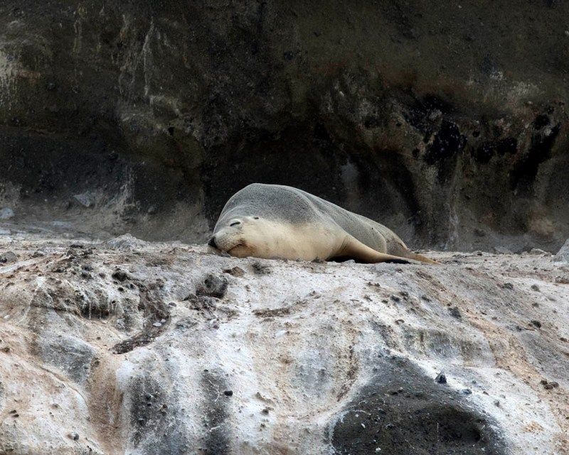 Australian Seal Lion - Lawrence Rocks, Vic