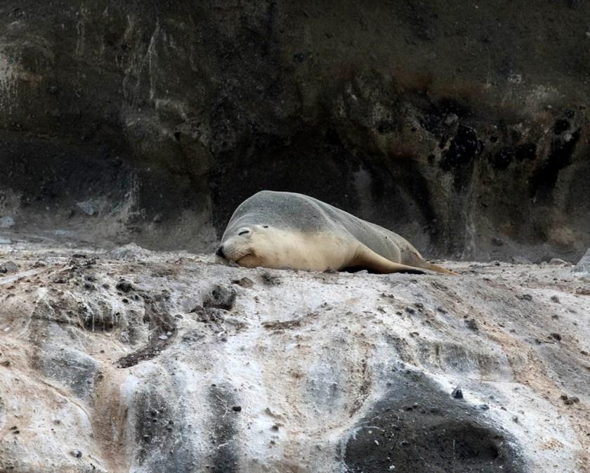 Australian Seal Lion - Lawrence Rocks, Vic