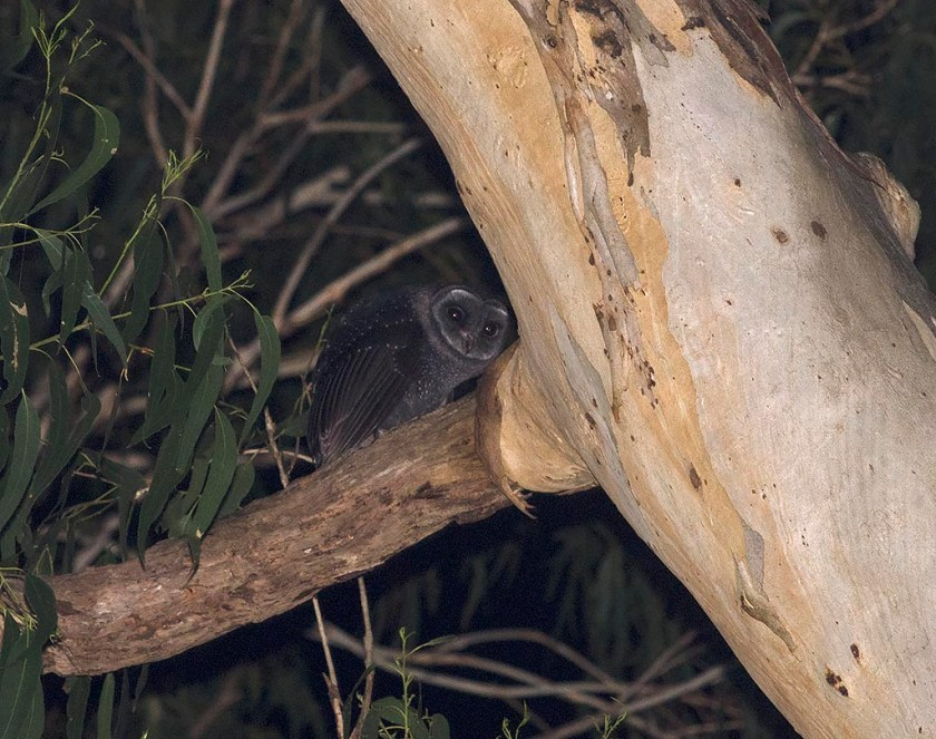 Sooty Owl - juvenile