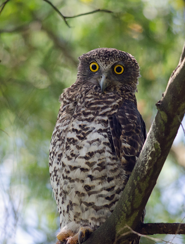 Powerful Owl - Glen Waverley