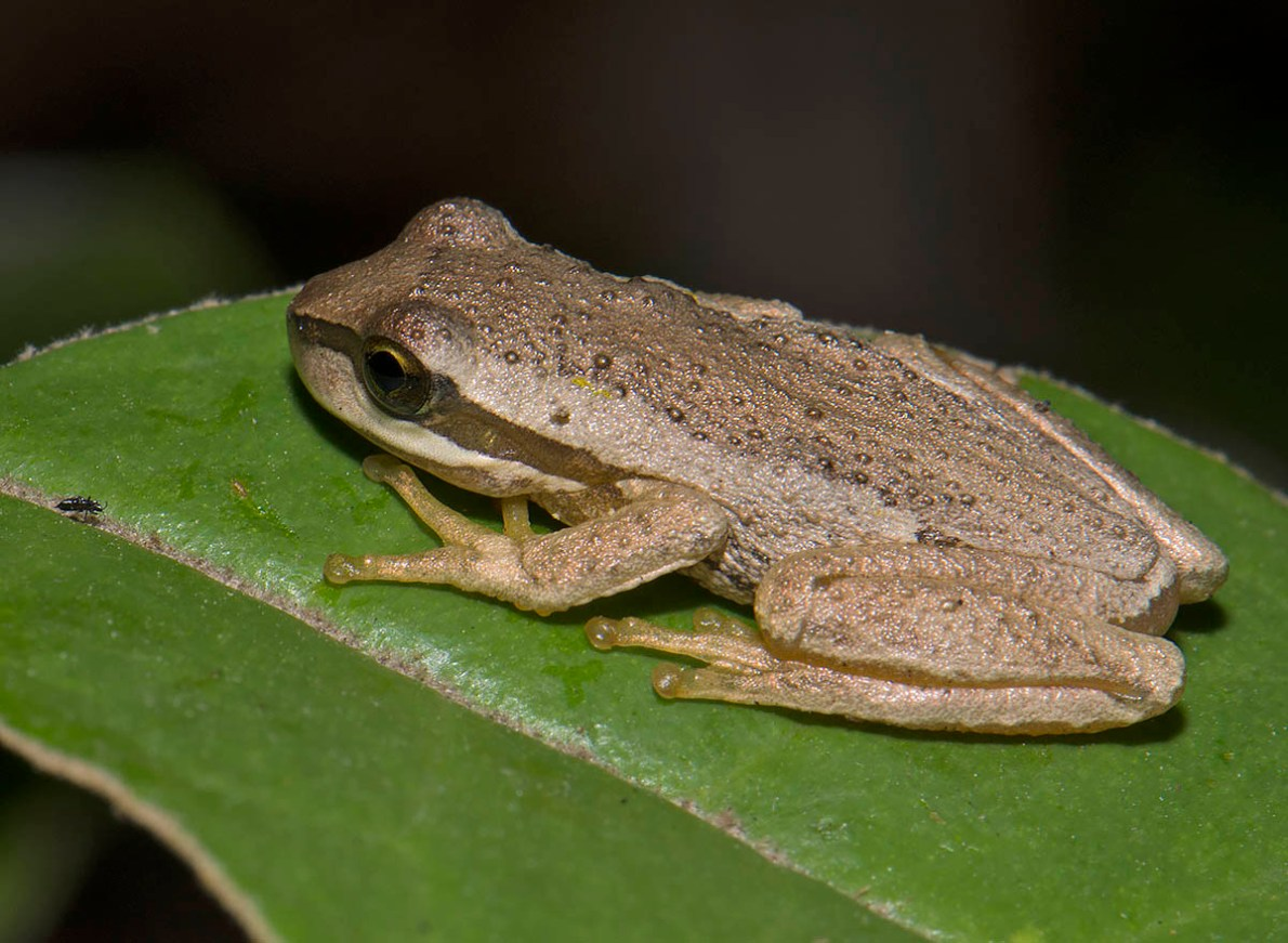 Litoria ewingii morphling - Yarra State Forest