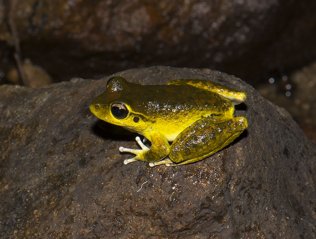 Litoria lesueurii - Jones Creek