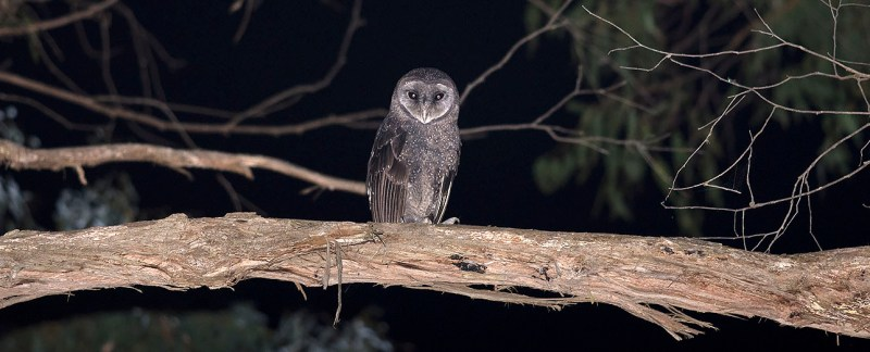 Sooty Owl - Bunyip State Park