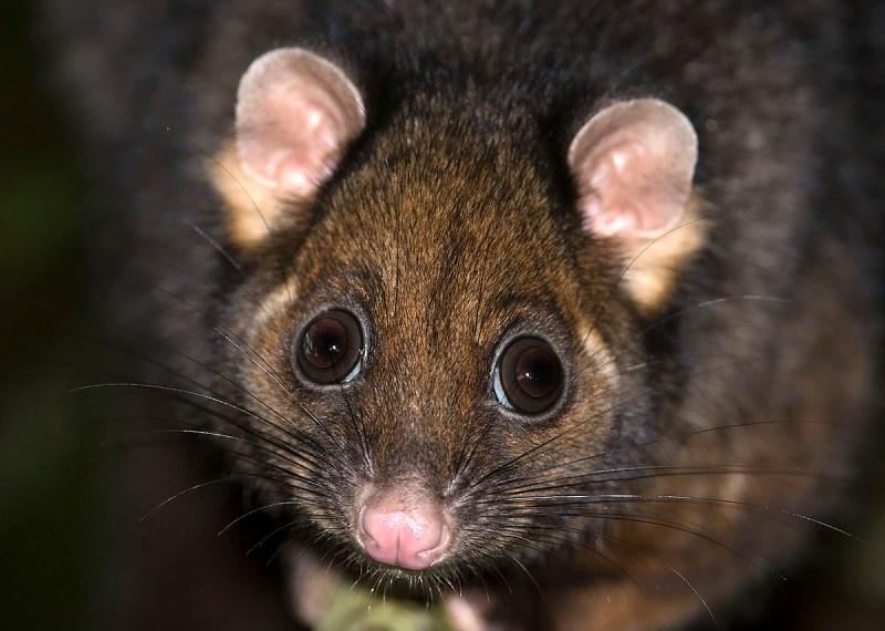 Eastern Ring-tailed Possum