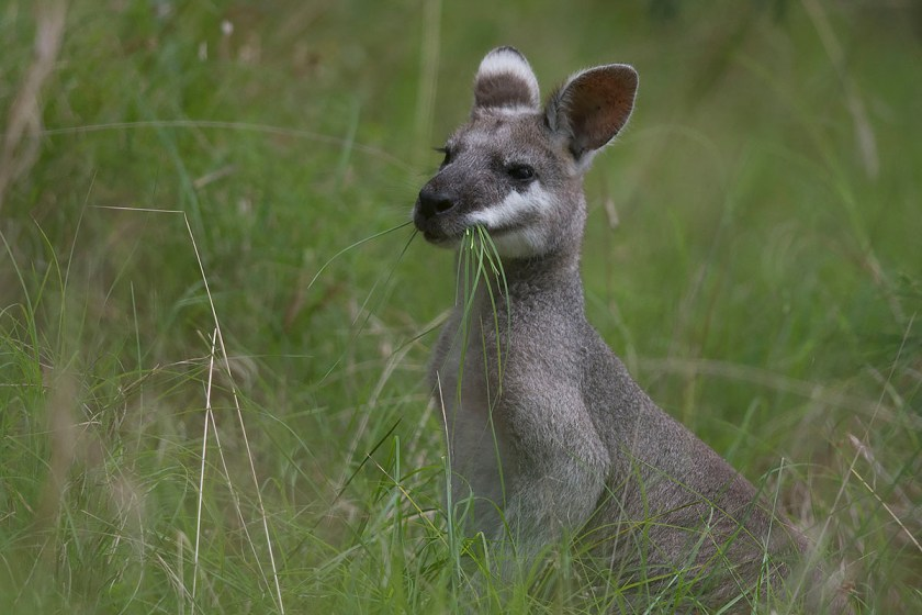 Pretty-faced (Whip-tailed) Wallaby