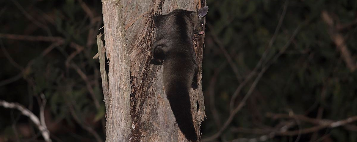 Yellow-bellied Glider worried about a Powerful Owl