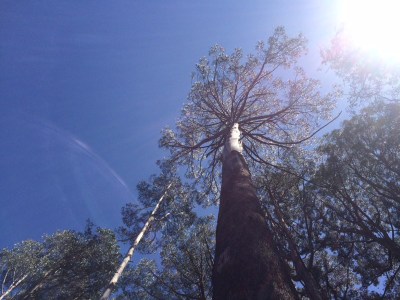 Mature Mountain Ash in Toolangi State Forest