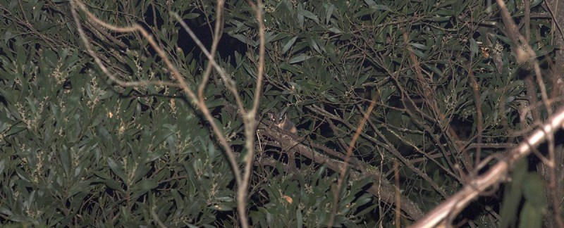 Leadbeater's Possum - Yarra Ranges State Forest