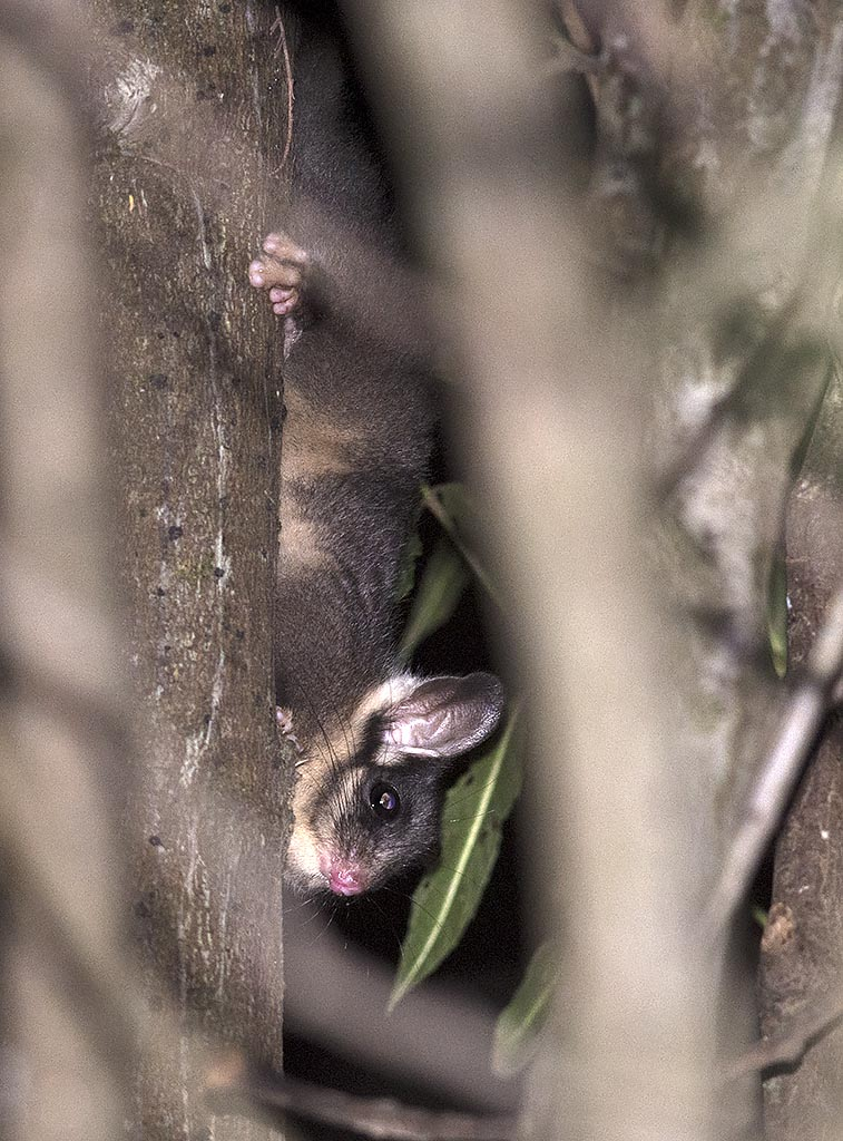 Leadbeater's Possum - Toolangi State Forest