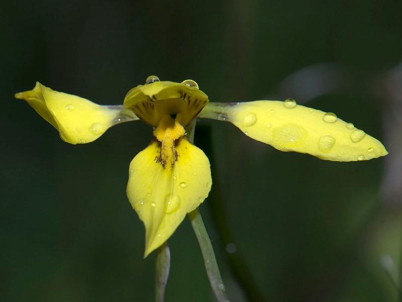 Diuris chryseopsis