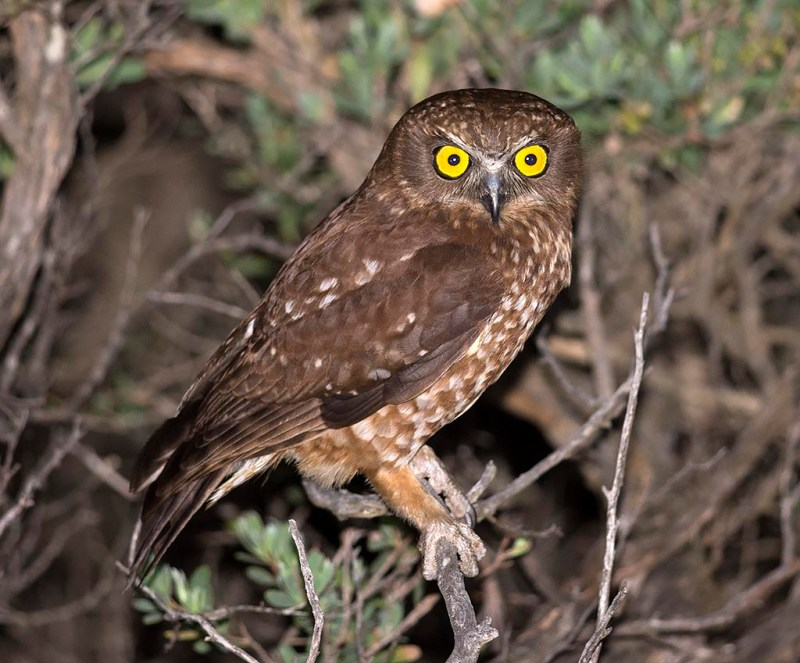 Morepork at Cape Liptrap from 2015