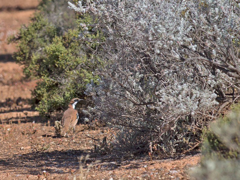 Nullabor Quail-thrush - record shot at best