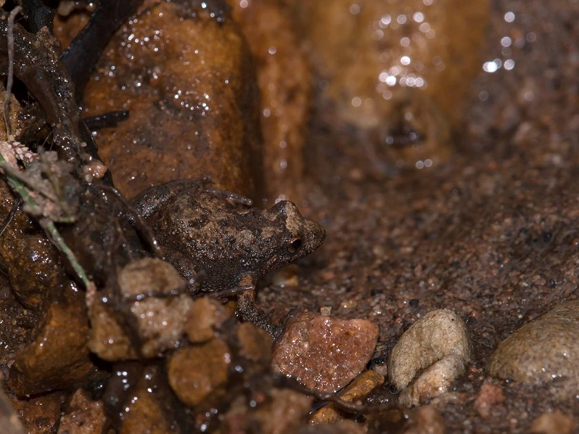 Crinia riparia - Southern Flinders Ranges Froglet