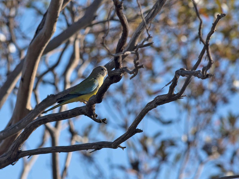 Scarlet-chested Parrot - Yumbarra CP