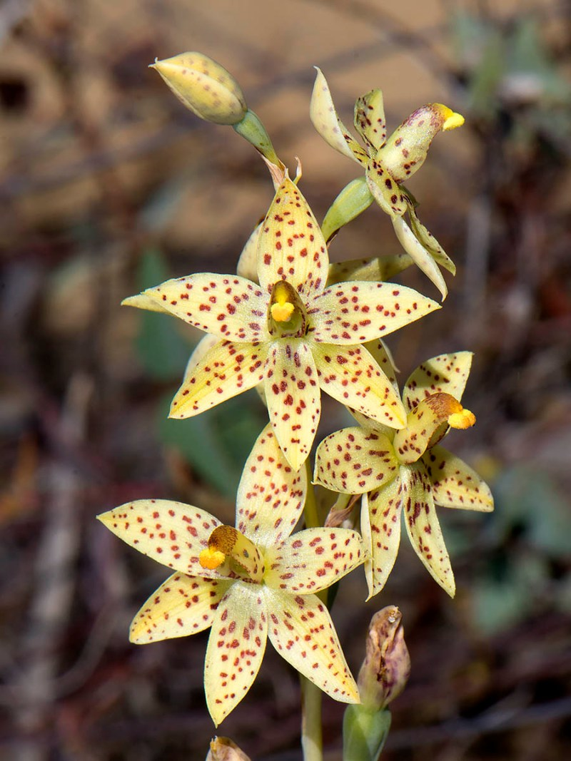 Freckled Sun-orchid - Jilbadgi NR