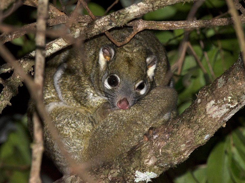 Green Ring-tailed Possum