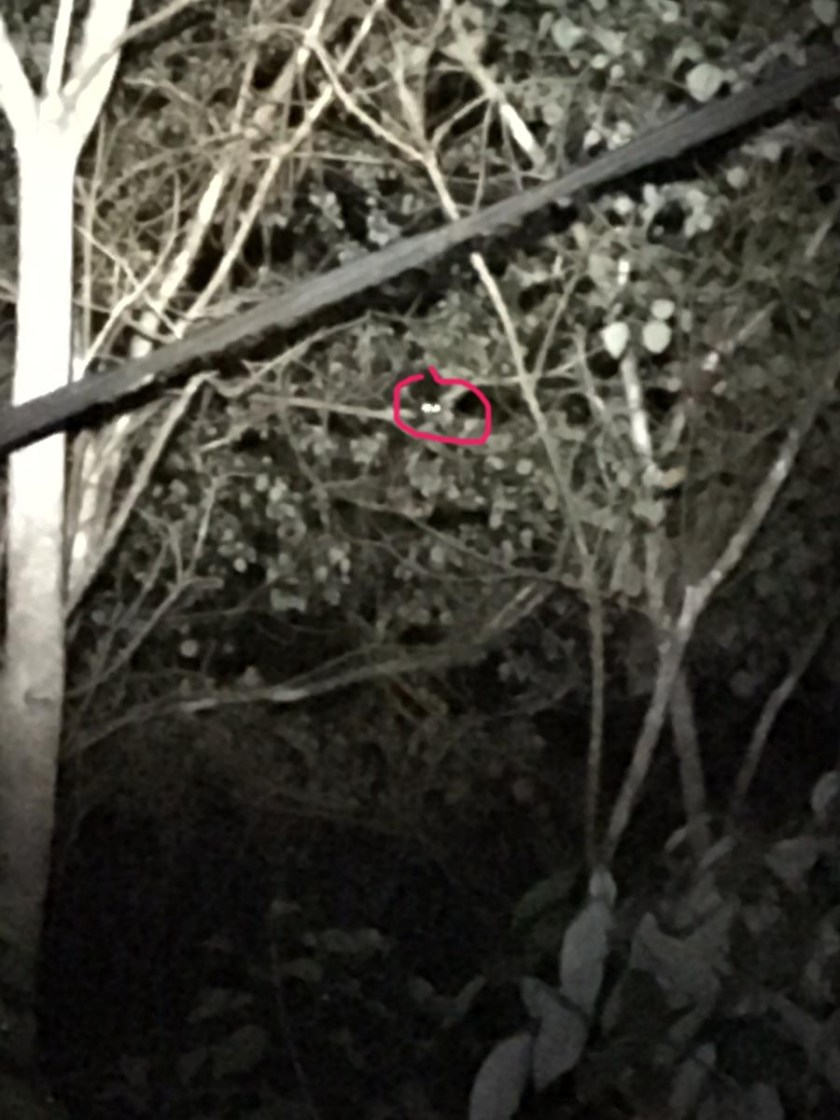 Herbert River Ring-tailed Possum..... Honest!!!