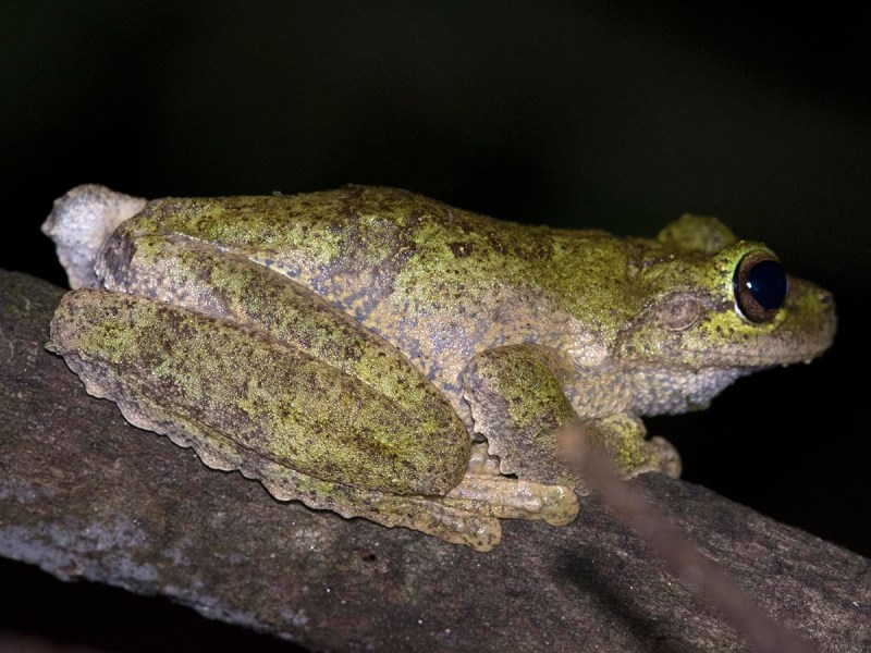Litoria serrata