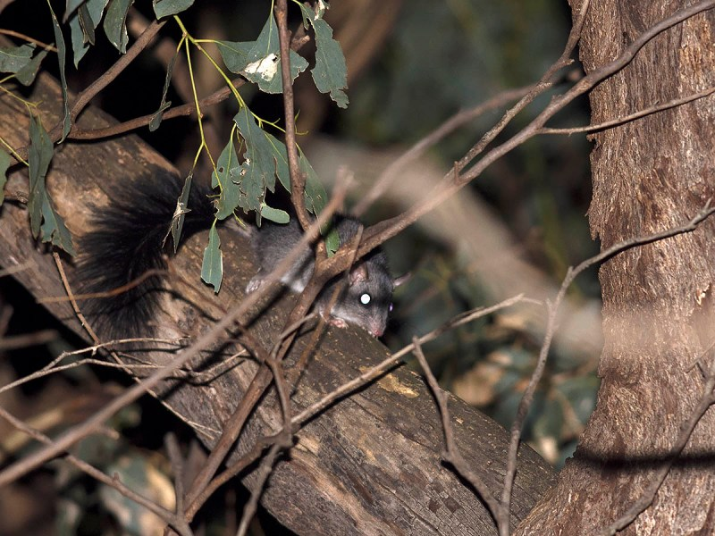 Brush-tailed Phascogale - just a record shot of a cool animal