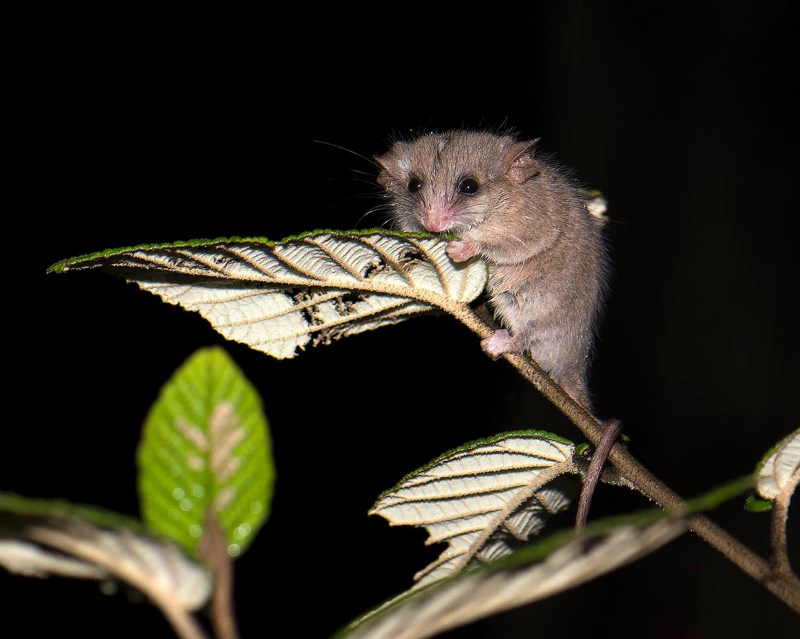 Little Pygmy-possum