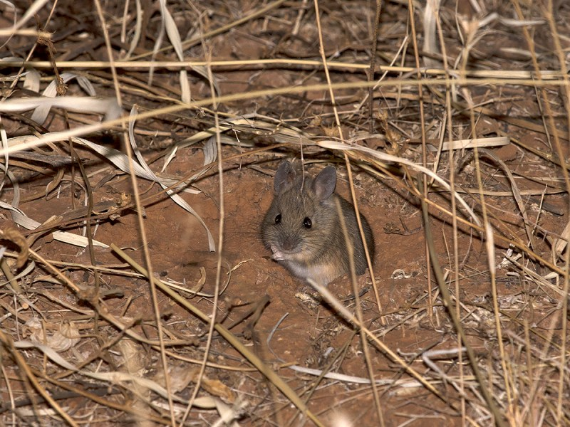 Plains Mouse