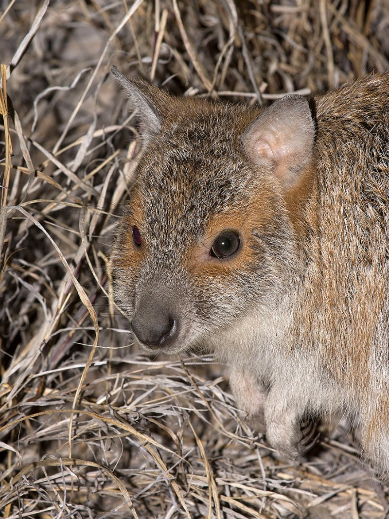 Spectacled Hare-wallaby