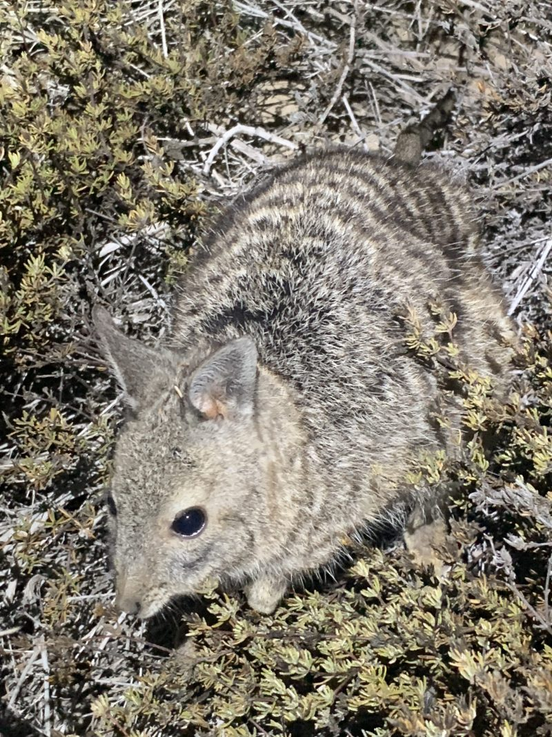 iPhone Banded Hare-wallaby