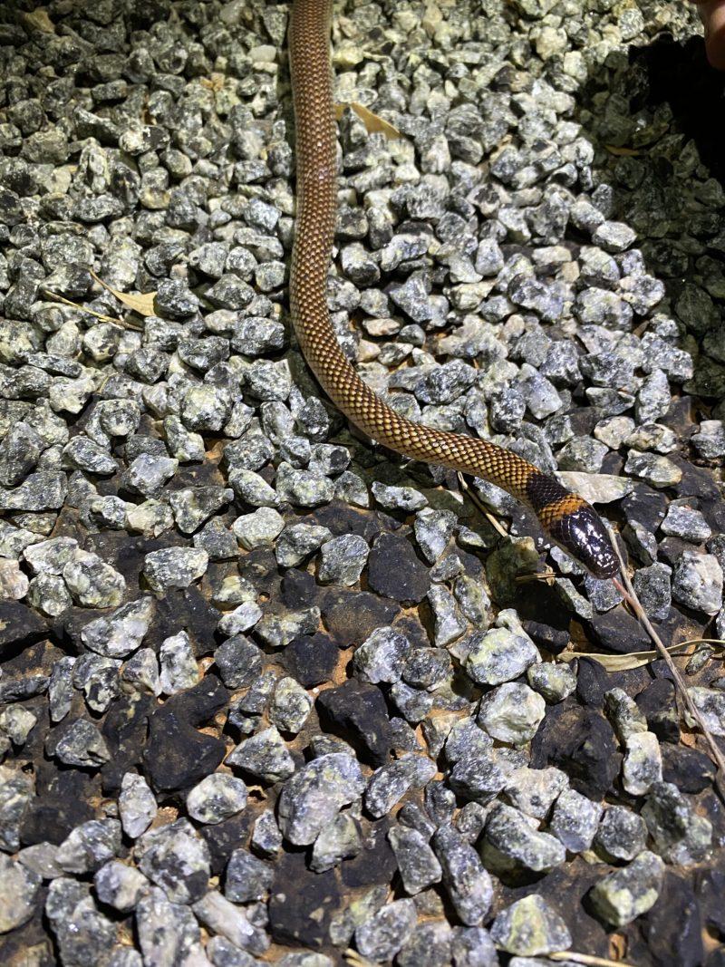 Orange-naped Snake