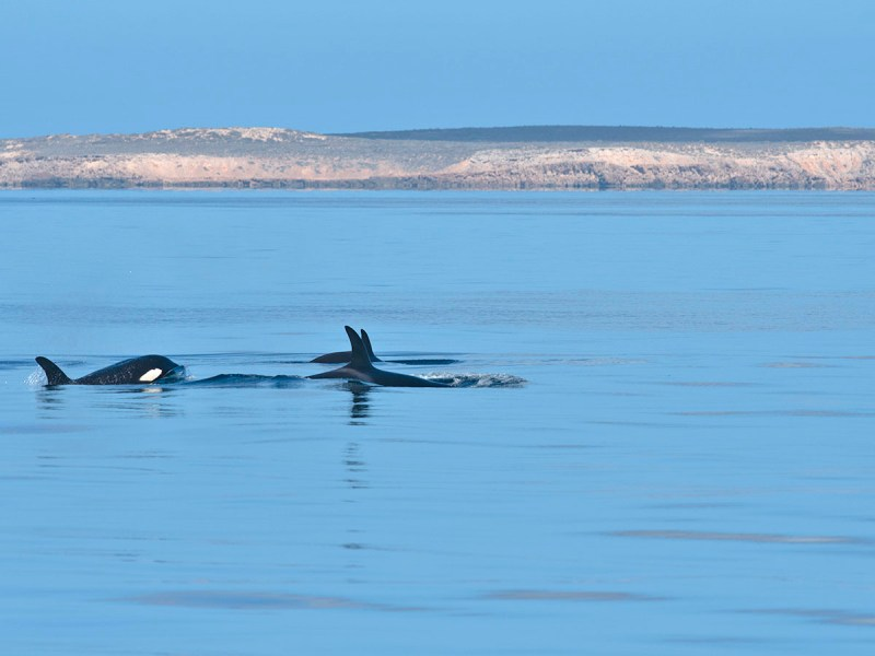 Orcas with Bernier in background