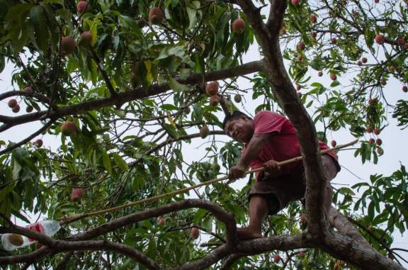 Collecting Mangoes