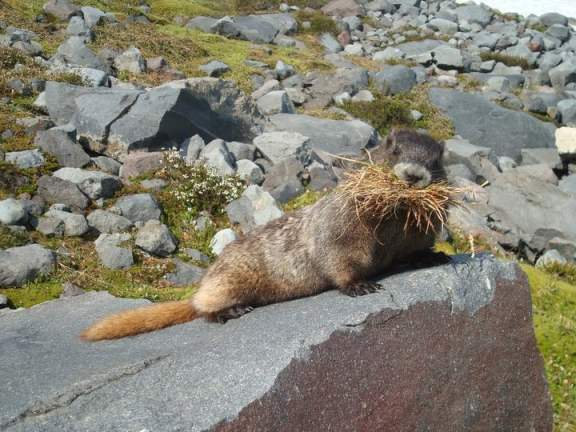 Even Marmots Love Curry Crackers