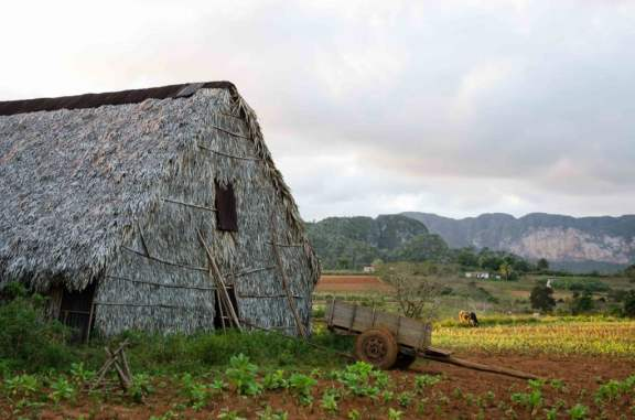 Tobacco Field and Drying Shed
