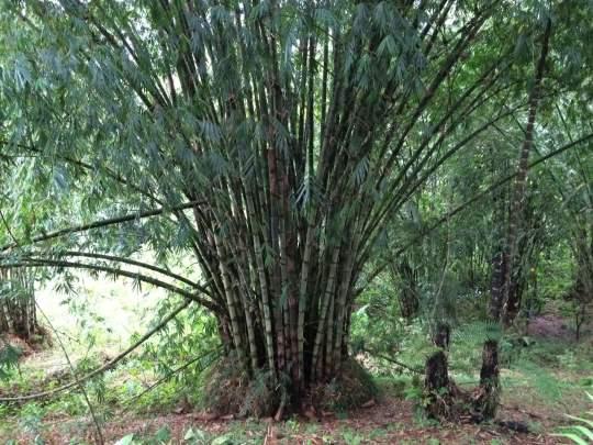 Bamboo (China?) Grove