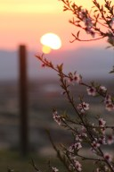 Peach Blossoms. Nevada