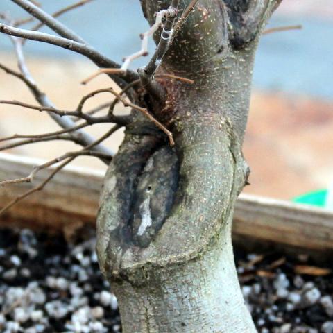 filling_large_cut_scars_on_bonsai_trees_large.jpg