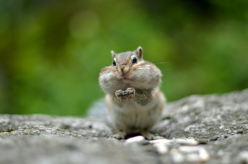 chipmunk-cheeks-01.jpg.838x0_q80.jpg