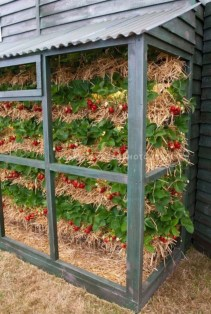 Creative ways to grow strawberry at your garden 08