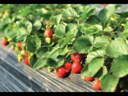 Creative ways to grow strawberry at your garden 12