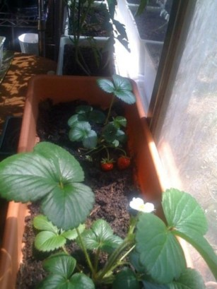 Creative ways to grow strawberry at your garden 29