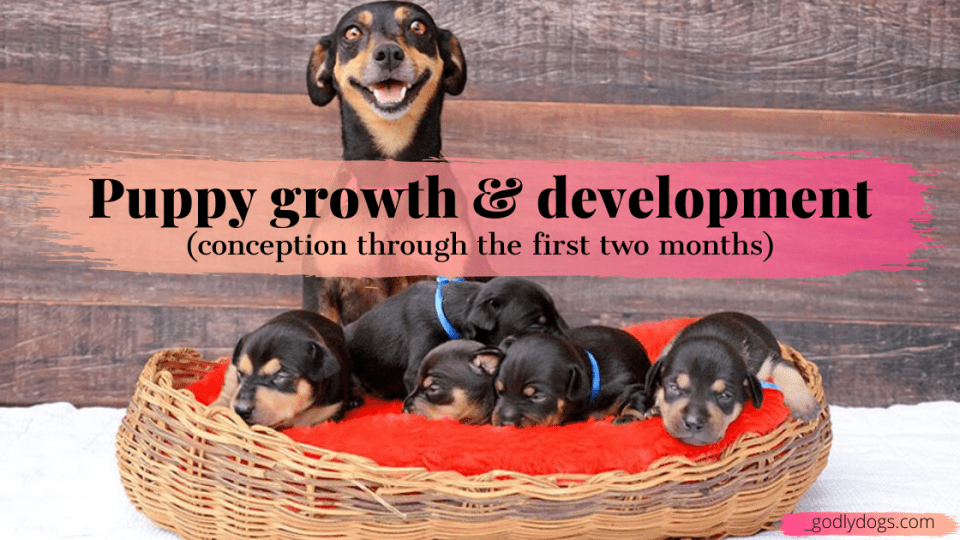 Cover of Puppy growth & development, by godlydogs.com
