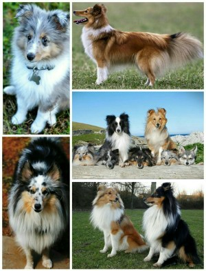 Ranked 6th among the 10 most intelligent dog breeds- Shetland Sheepdog.