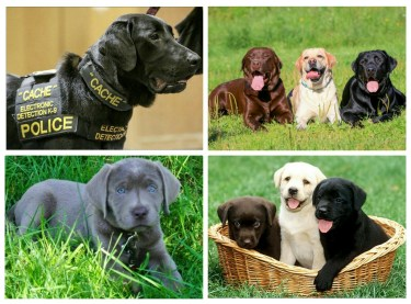 Ranked 7th among the 10 most intelligent dog breeds- Labrador Retriever.