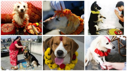Dog myths & superstitions debunked by the Nepalese worshipping dogs on 'Kukur Tihar'.