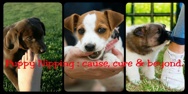 Puppy Nipping: Everything you need to know, from cause to cure and beyond.