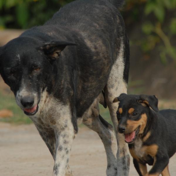 Indian Dog 043