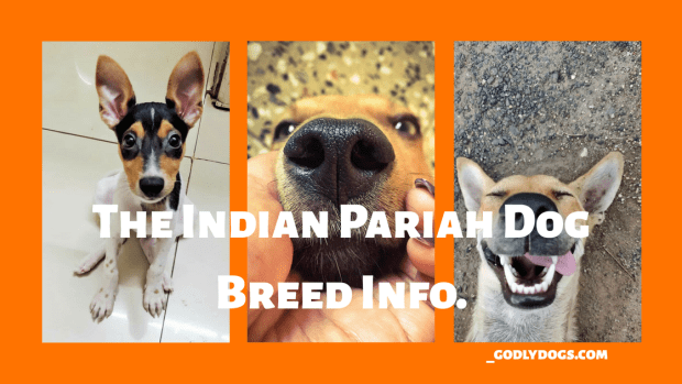 The Indian Pariah Dog breed info by godlydogs.com