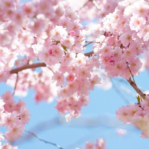 What Easter Means to me. What did Jesus die? Why did Jesus rise from the dead? Beautiful pink flowers on a tree.