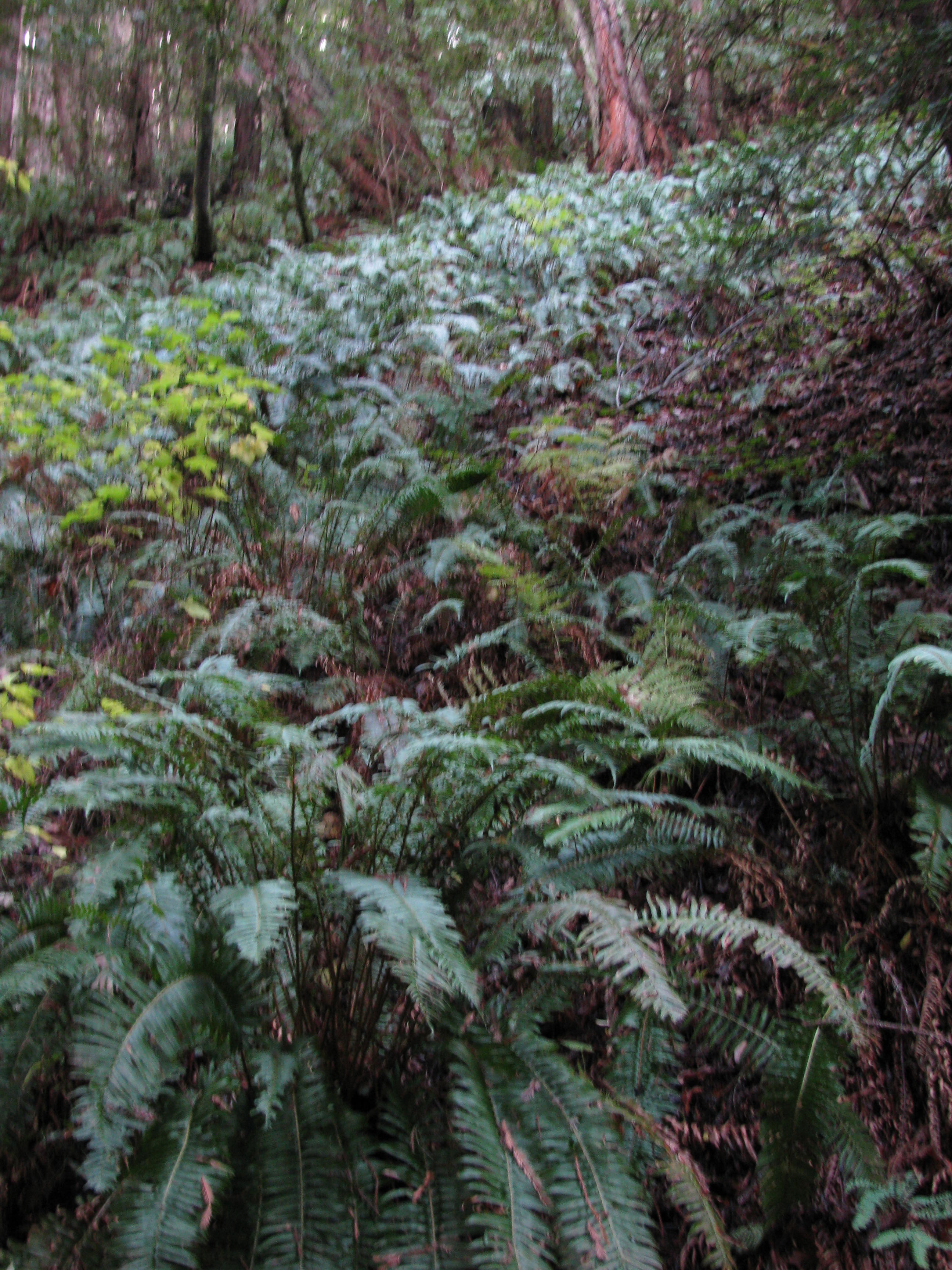 Ferns in Peaceful Redwood Forest 15 Minute Drive Away