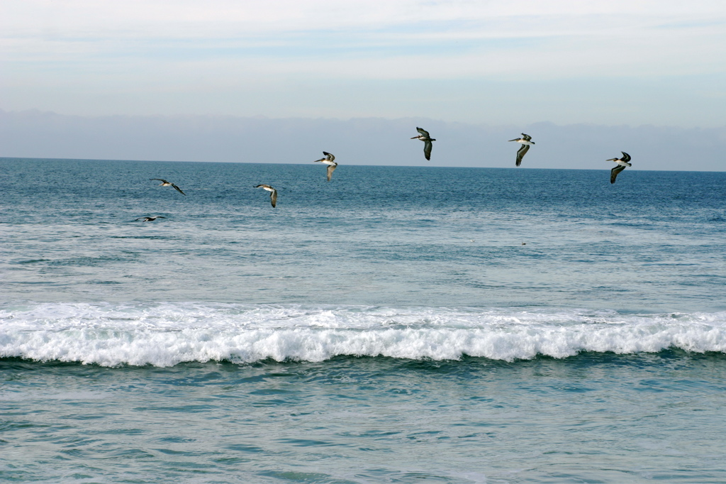 Pelicans Above the Pacific