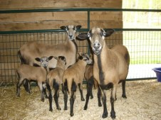 1st six American Blackbelly sheep